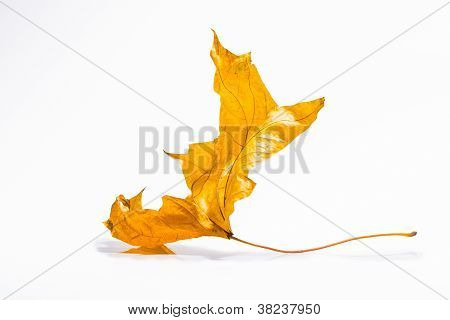 Dried autumn leaves isolated