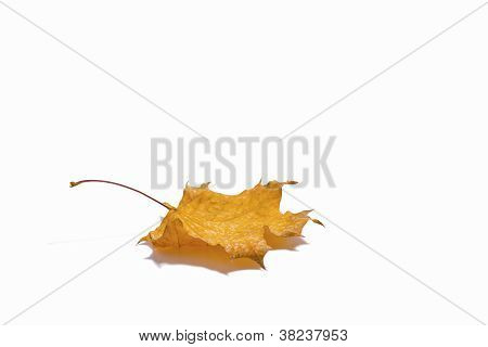 Dried autumn leave