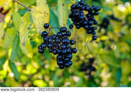 Black Berries On A Bush Of Wild Privet (ligustrum Vulgare), Also Sometimes Known As Common Privet Or