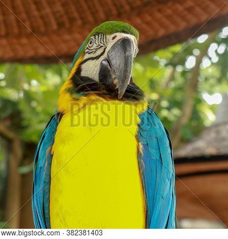 Blue And Yellow Macaw Ara Ararauna Close-up. Ara Glaucogularis