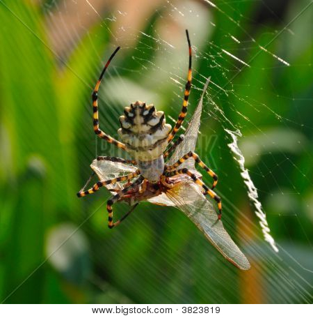 A Spiders Lunch