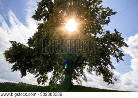 The Herrenlinde, A Linden Tree, Planted In 1890, Near The Benedigtweg Pilgrimage At The City Of Aste