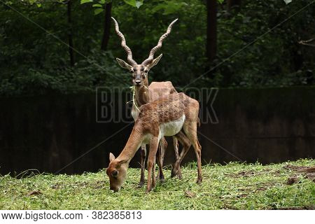 A Couple Of Endangered Deer And Black Buck. Wild Black Buck Grazing.