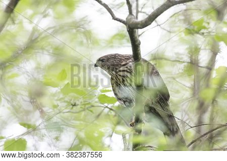 Juvenile Cooper's Hawk At  British Columbia  Canada