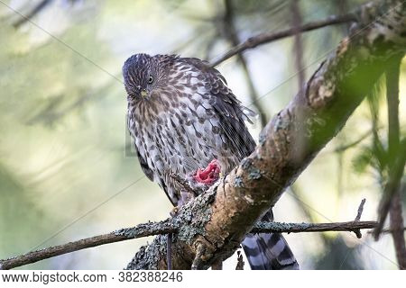 Juvenile Cooper's Hawk Eating Mouse British Columbia  Canada