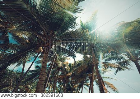 Palm Trees Under A Shining Sun In Bois Jolan Beach In Guadeloupe, French West Indies. Lesser Antille