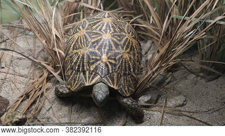 An Endangered Species Of The Wild Radiated Tortoise.