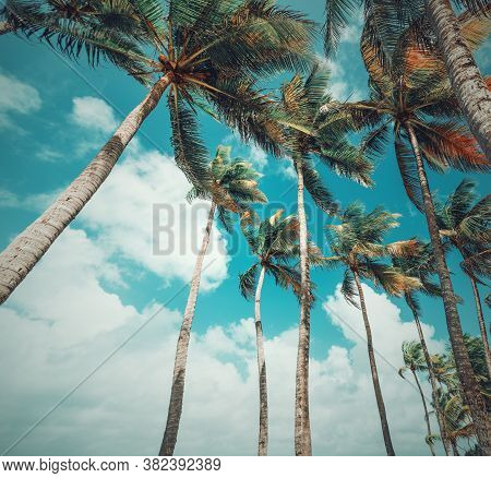 Palm Trees Under A Blue Sky In Guadeloupe, French West Indies. Lesser Antilles, Caribbean