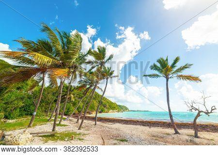 Coconut Palm Trees In Pointe De La Saline Beach, French West Indies. Lesser Antilles, Caribbean Sea