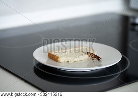 A Cockroach Is Sitting On A Piece Of Bread In A Plate In The Kitchen. Cockroaches Eat My Food Suppli