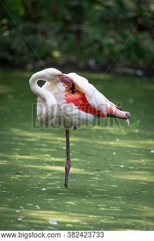 Pink Flamingo Immersed In The Water Of A Pond, Naturalistic Image