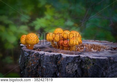Pholiota Squarrosa, Commonly Known As The Shaggy Scalycap, The Shaggy Pholiota, Or The Scaly Pholiot