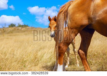 Foal Hides Behind Mom . Mare And Her Colt