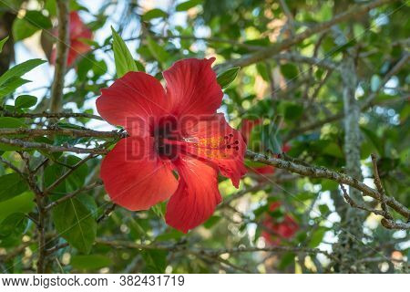 China Rose Flower Outdoors On Summer Hibiscus Rosa-sinensis