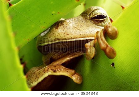 Tropical Frog In Green Bromeliad