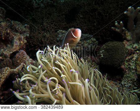 Pink Anemonefish Protecting It's Anemone Cebu Philippines