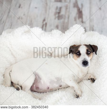 Pregnant dog resting in white bed at home. Jack Russell