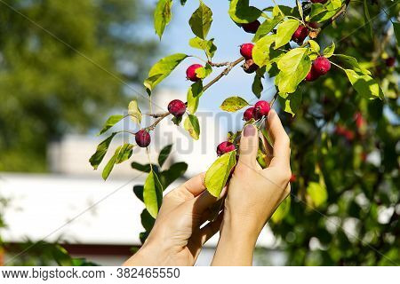 Malus Pumila. Harvesting Of Paradise Apples. Many Red And Ripe Ranetki Branches Of The Tree. Collect
