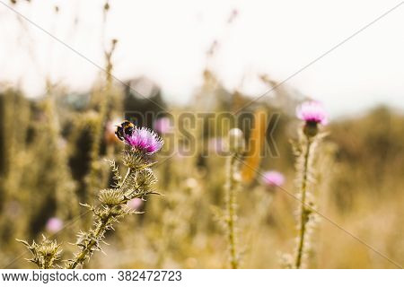 Nature Background Bumblebee On Flower. Bee Insect In Nature. Nature Insect Bumblebee. Nature Backgro