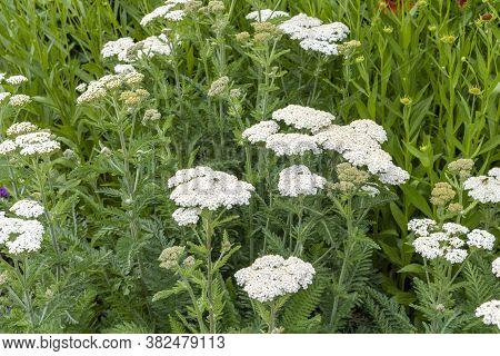 White Flowers In The Garden. Achillea Millefolium Commonly Known As Yarrow.