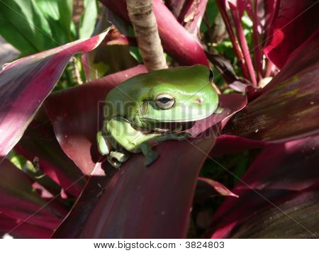 Large Green Tree Frog On Red Leaf Plant.