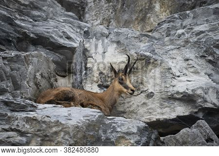 Brown Rupicapra Chamois Lying On Rocks In Austria Mountains