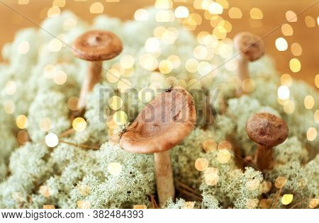 nature and environment concept - lactarius rufus mushrooms in reindeer lichen moss