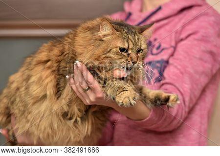 Norwegian Forest Brown Cat