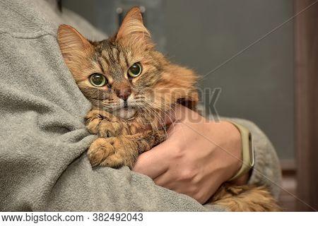 Fluffy Brown Siberian Cat