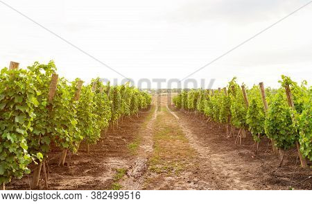 Summer Landscape With Green Hills, Valley And Vineyards. Green Grape Vine Trees Growing Before Harve