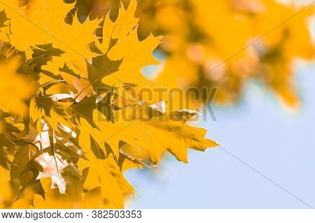 Vivid Autumn Background With Vivid Gold Colored Leafs Against Blue Sunny Sky
