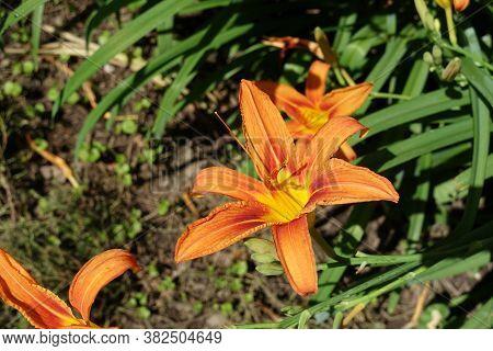 Bright Orange Flowers Of Hemerocallis Fulva In Mid June