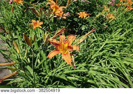 Buds And Orange Flowers Of Hemerocallis Fulva In Mid June