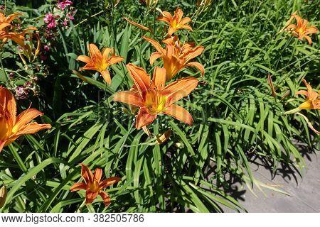 Couple Of Orange Flowers Of Hemerocallis Fulva In Mid June