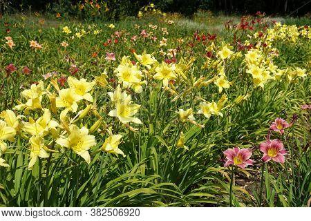 Line Of Yellow Flowers Of Hemerocallis Fulva In June