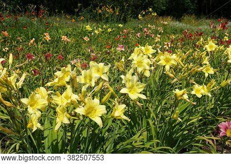 Row Of Yellow Flowers Of Hemerocallis Fulva In June