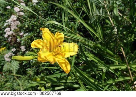Single Yellow Flower Of Hemerocallis Fulva In June