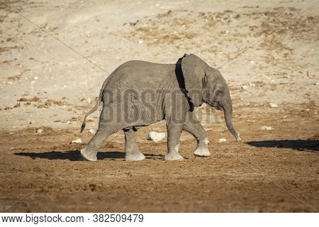 Baby Elephant Marching Behind His Mother In Warm Afternoon Sunlight In Chobe In Botswana