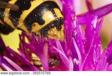Macro View Of European Paper Wasp Stinger.