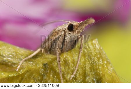 Macro Shot Of A Moth With A Proboscis.