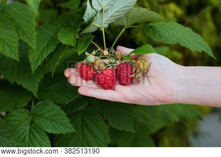 Young Boy's Hand Holding A Bunch Of Ripe Red Raspberries