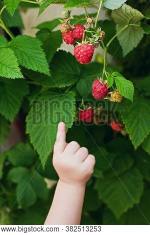 Little Baby's Hand Pointing On Sweet Ripe Raspberries Hanging On The Bush