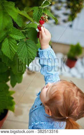 Cute Infant Baby Girl Harvesting A Sweet Raspberry From The Bush Grown In A Pot At Home