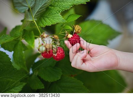 Young Boy Harvesting A Ripe Red Raspberry From The Bush