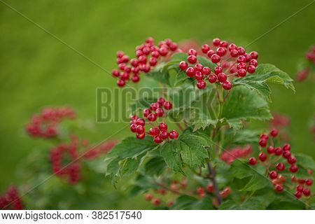 Bunch Of Red Viburnum Berries And Green Leaves On A Branch