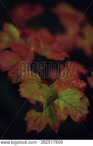 Green Red Leaves Of Viburnum Outdoor In Fall. Selective Focus,dark Background