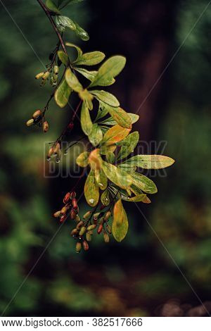 Barberry Fruits Ripening On Branch With Green Yellow Leaves On Dark Background