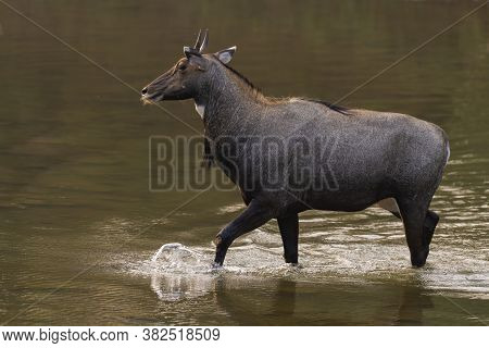 A Nilgai (boselaphus Tragocamelus), Also Called Blue Bull Crossing A Shallow Water Body At Ranthambo
