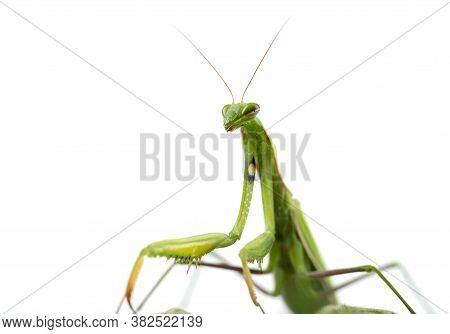 European Praying Mantis Female Or Mantis Religiosa Close Up Against White Background. Large Predator