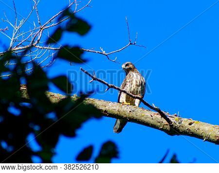 Juvenile Sharp-shinned Hawk (accipiter Striatus) Perched On A Limb With Blue Sky Background
